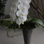 胡蝶蘭一本仕立て 周年祝い ¥10,000~
